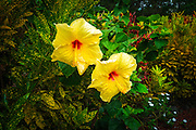 Hibiscus flowers in the Galaxy Garden, Paleaku Gardens Peace Sanctuary, Kona Coast, The Big Island, Hawaii USA