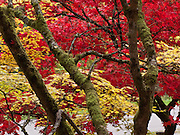 Japanese maple tree leaves glow yellow and red in fall. Washington Park Arboretum, a joint project of the University of Washington, the Seattle Department of Parks and Recreation, and the nonprofit Arboretum Foundation.