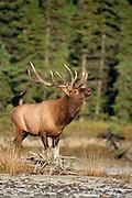 Bull elk in Canada during the fall rut