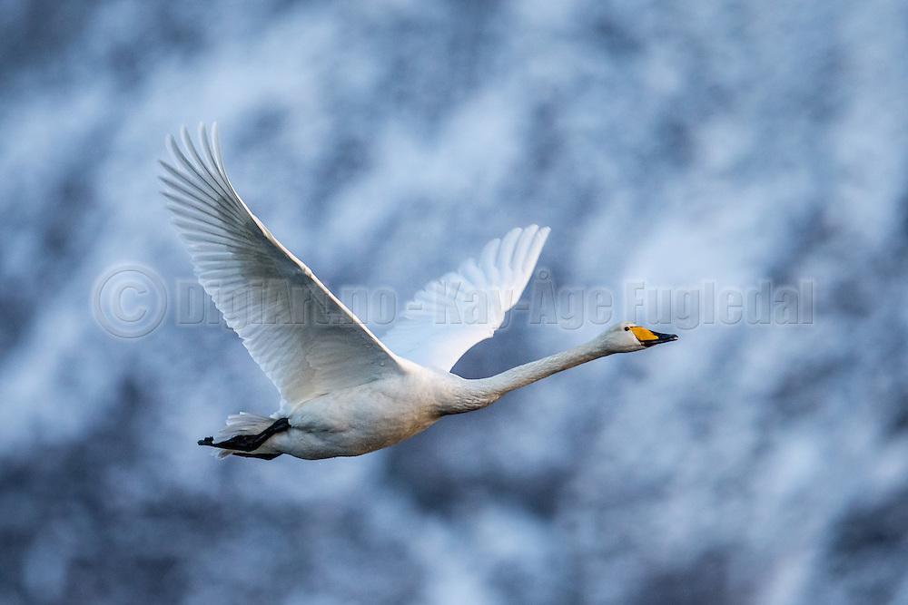 Whooper Swan in flight, with blue and gray background   Flyktende Sangsvane på blå og grå bakgrunn.
