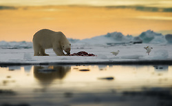 Polar bear (Ursus maritimus) in Svalbard, Norway