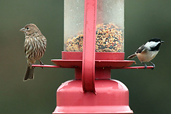 House Finch (Haemorhous Mexicanus) and Black-capped Chickadee (Poecile atricapillus)