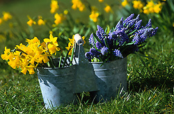 Daffodils and muscari picked into a two sided bucket ready for flower arranging