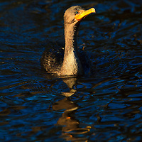 A juvenile double-crested cormorant (Phalacrocorax auritus) swims in a drainage ditch surrounded by reflections, Chincoteague National Wildlife Refuge, Assateague Island, Virginia
