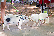 A Juliana teacup pet pig greets a dog at a farmers market in Wicker Park August 2, 2015 in Chicago, Illinois, USA