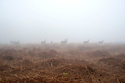© Licensed to London News Pictures. 13/03/2014. Richmond, UK Deer graze and feed in the heavy fog at Richmond Park, Surrey, today 13th March 2014. Photo credit : Stephen Simpson/LNP
