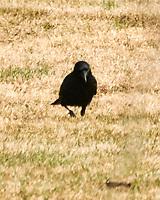 American Crow (Corvus brachyrhynchos). Image taken with a Nikon 1 V3 camera and 70-300 mm VR lens.
