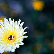 close-up of a white wild flower with colorful background and small bug on top of flower