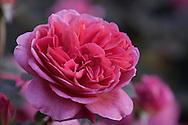 Rosa [Boscobell] 'Auscousin', a deep pink rose at RHS Wisley Garden, Woking, Surrey, UK
