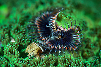 Tube worm is an invertebrate that lives in a mineral tube, into which it can withdraw its entire body. Pak Lap Tsai, Sai Kung, Hong Kong, China.<br /> This Image is a part of the mission Wild Sea Hong Kong (Wild Wonders of China).