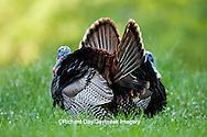 00845-07208 Eastern Wild Turkeys (Meleagris gallopavo) gobblers strutting in field, Holmes Co., MS
