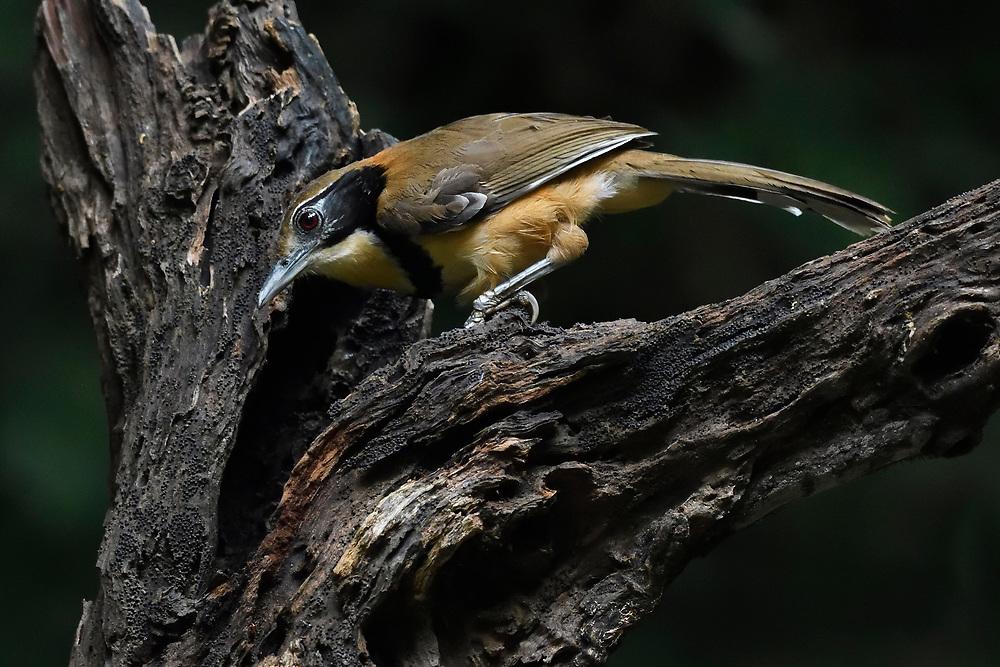Lesser necklaced laughing thrush bird, Garrulax monileger, sitting in Tongbiguan nature reserve, Dehong Prefecture, Yunnan Province, China