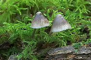 Nitrous Bonnet - Mycena leptocephala