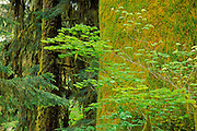 Bigleaf maple (Acer macrophyllum) and moss-covered western hemlock (Tsuga heterophylla) in the Hoh Rain Forest, Olympic National Park, Washington