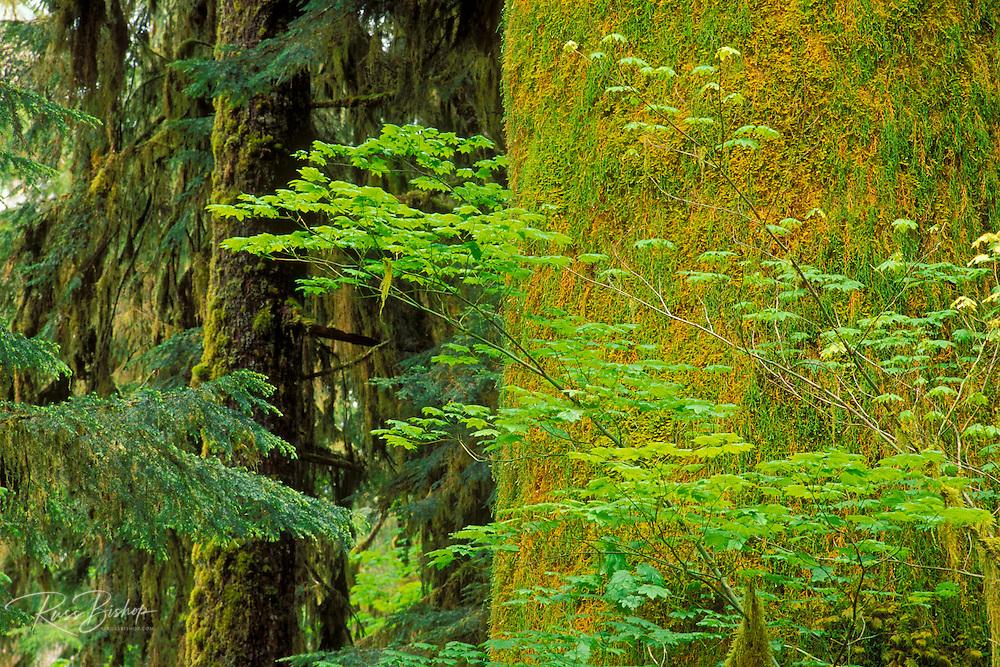Bigleaf maple (Acer macrophyllum) and moss-covered western hemlock (Tsuga heterophylla) in the Hoh Rain Forest, Olympic National Park, Washington