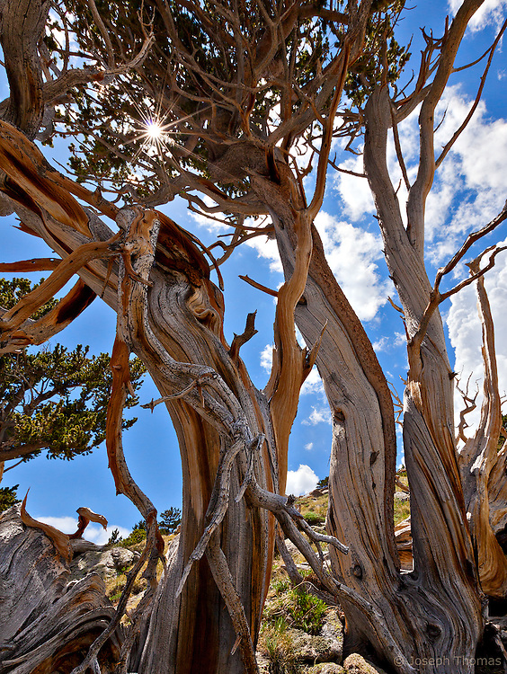 Bristlecone pine trees.