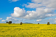Canola Field in Western Victoria, Australia. (C) Joel Strickland Photographics.Use information: This image is intended for Editorial use only (e.g. news or commentary, print or electronic). Any commercial or promotional use requires additional clearance.
