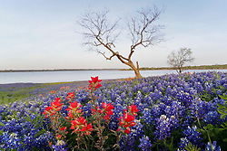 Lone tree and field of Indian paintbrush (Castilleja indivisa) and bluebonnets (Lupinus texensis) near shore of Lake Bardwell at dawn, Ennis, Texas USA.