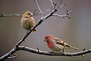 House Finch Pair in winter - Mississippi