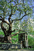 """A plane tree traditionally grows in the slate town squares of Zagoria, such as this one in Mikro Papingo village (or small Papigo, Greek: ), north Pindus Mountains (Pindos or Pindhos), Epirus/Epiros, Greece, Europe. Zagori (Greek: ) is a region and a municipality in the Pindus mountains in Epirus, in northwestern Greece. Zagori contains 45 villages collectively known as Zagoria (Zagorochoria or Zagorohoria). The northeast wall of Vikos Gorge is Mount Tymfi (or Greek: , also transliterated Timfi, Tymphe, or Tymphi), near the 40 degree parallel. Tymfi forms a massif with its highest peak, Gamila, at 2497 meters (8192 feet), the sixth highest in Greece. Published in """"Pindos: The National Park"""" (2010) by Alexander G. Tziolas, preface by Tom Dempsey et al, ISBN 978-960-98795-3-8."""