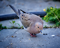 Mourning Dove. Image taken with a Nikon D5 camera and 600 mm f/4 VR lens (ISO 1600, 600 mm, f/4, 1/400 sec).