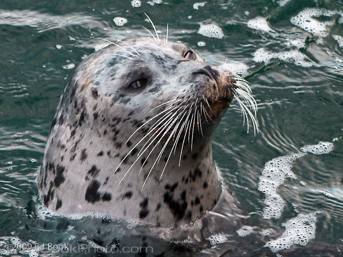 Pacific Harbor Seal (Phoca vitulina), San Juan Islands, Washington, USA