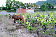 ploughing the vineyard with a horse domaine m sorrel hermitage rhone france