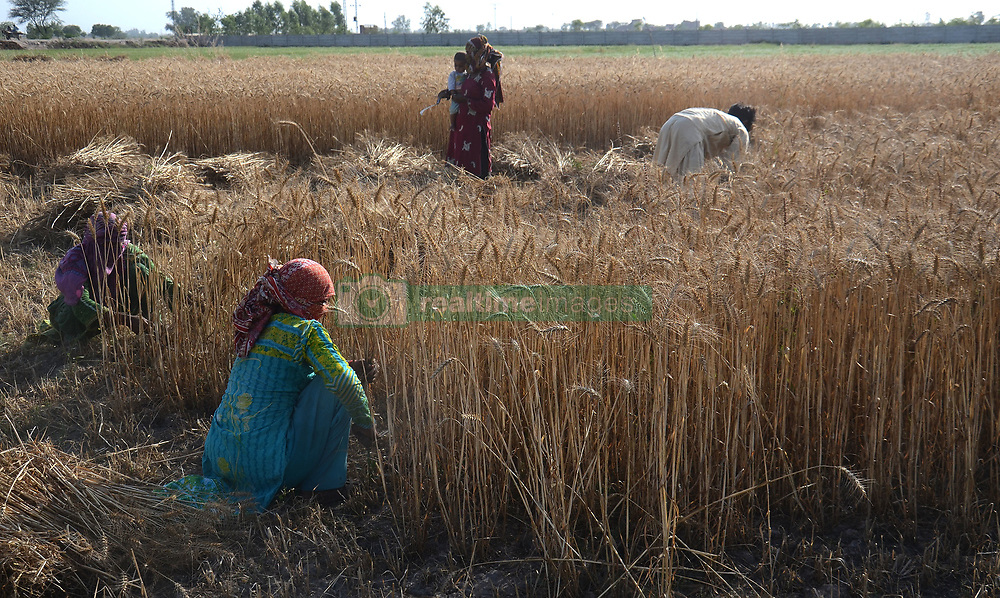 April 26, 2017 - Lahore, Punjab, Pakistan - Pakistani villagers harvest wheat in a field on the outskirts of Lahore. Pakistan is in a position to produce bumper wheat crop this year but it depends on weather conditions in April if the temperature remains average the country's wheat output is expected to cross 27 million tons, but if temperature is above the average for the year wheat output is likely to remain 25.5 million tons. (Credit Image: © Rana Sajid Hussain/Pacific Press via ZUMA Wire)