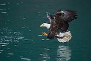 Adult bald eagle fishing in Alaska