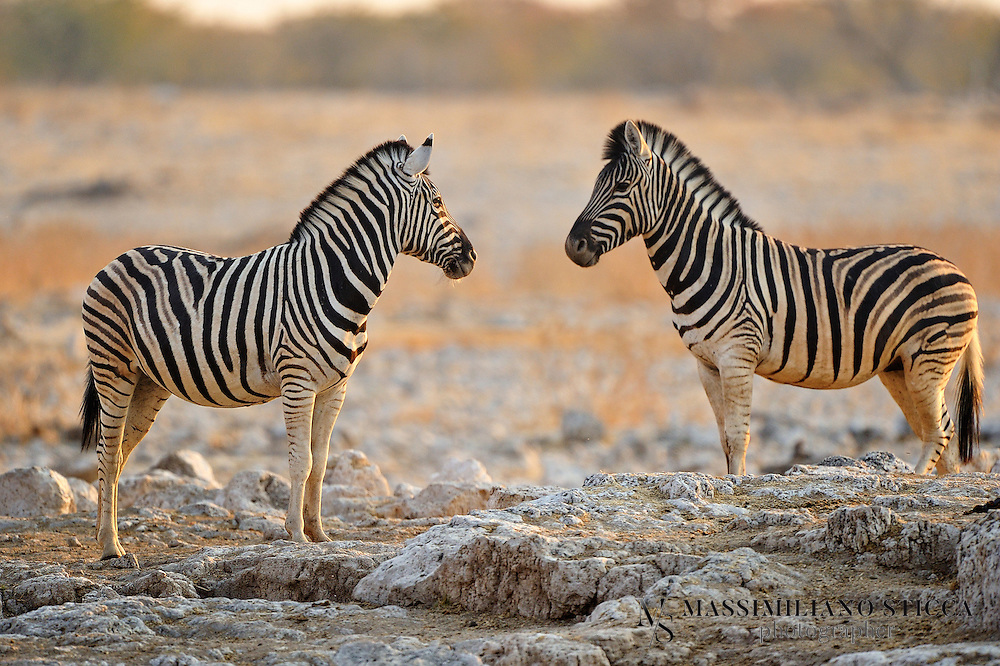 The plains zebra (Equus quagga, formerly Equus burchelli), also known as the common zebra or Burchell's zebra, is the most common and geographically widespread species of zebra.[2] It ranges from the south of Ethiopia through East Africa to as far south as Angola and eastern South Africa. The plains zebra remains common in game reserves, but is threatened by human activities such as hunting for its meat and hide, as well as competition with livestock and encroachment by farming on much of its habitat.