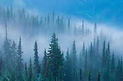 Foggy spruce forest on Hurricane Ridge in Olympic National Park, Washington