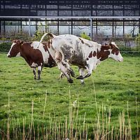 Nederland, Baambrugge, 23 april 2016.<br /> koopeenkoe.nl, een duurzaam bedrijf, waar je online SAMEN een koe kan kopen. Het vleespakket wordt pas opgestuurd als de hele koe verkocht is. Op het terrein is een boerderij, slagerij, etc. <br /> Initiatiefnemer is Yvo van Rijen.<br /> Op de foto: De koeien mogen weer voor de eerste keer naar buiten en dartelen op het gras.<br /> <br /> Netherlands, Baambrugge, April 23, 2016<br /> koopeenkoe.nl, a sustainable business where you can buy a cow TOGETHER online. The meat packet will only be sent once the whole cow has been sold. On the property there is a farm and a butcher. Initiator is Yvo van Rijen.<br /> In the photo: Cows frolicing out on the grass.<br /> <br /> Foto: Jean-Pierre Jans