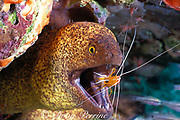 yellow-margined moray eel or yellow-edged moray, Gymnothorax flavimarginatus, being cleaned by humpback cleaner shrimp, Lysmata amboinensis, Mabul Island, Sabah, Borneo, Malaysia ( Celebes Sea )