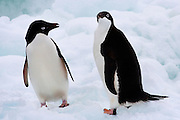 Adelie Penguins on an ice floe - Pygoscelis adeliae - in the Southern Ocean, Antarctica. In 1830, French explorer Dumont d'Urville named them for his wife, Adélie.