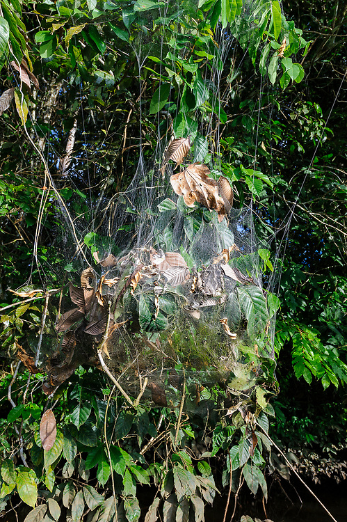 Huge web of the social spider (Anelosimus eximius) in trees along the banks of Lake Garzacocha, Ecuador.