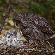 Adult great gray owl feeding rodent to nested chicks in old growth forest.