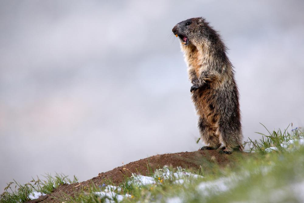 Alpine Marmot (Marmota marmota) on alrert. Hohe Tauern National Park, Carinthia, Austria