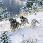 Gray Wolf (Canis Lopus) pack running in the Rocky Mountains of Montana. Captive Animal