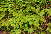 Ferns growing along the edge of trail in the boreal forest<br />Parc national du Mont-Tremblant (not a Canadian national park)<br />Quebec<br />Canada