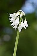 Three-cornered Leek - Allium triquetrum