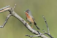 Eastern Subalpine Warbler - Sylvia cantillans albistriata