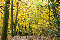 © Licensed to London News Pictures. 06/11/2019. BURNHAM, UK.  Walkers enjoy autumn in Burnham Beeches in Buckinghamshire.  The 220 hectare historic woodland is a National Nature Reserve and European Special Are of Conservation, famous for its ancient pollards, many of which are several hundred years old.  Now owned by the City of London, it has been preserved as a public open space popular with nature lovers and dog-walkers alike.  Photo credit: Stephen Chung/LNP