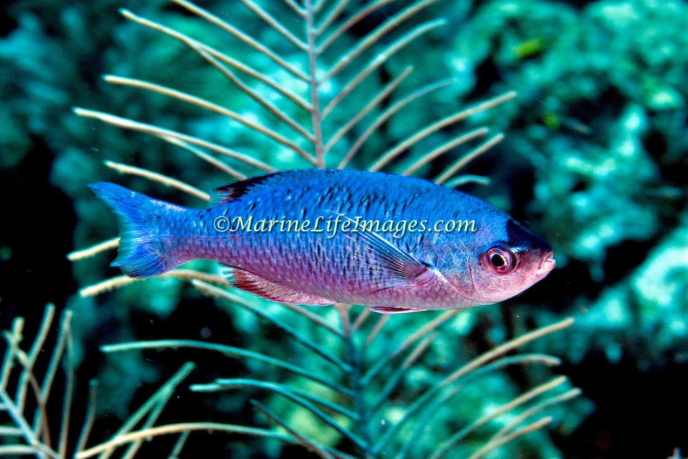 Creol Wrasse commonly swim in groups in the open water above deep reefs and especially along the edge of walls and dropoffs  in the Tropical West Atlantic; picture taken Grand Turk.