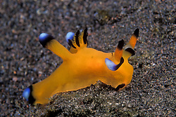This distinctive nudibranch, Thecacera pacifica, is relatively uncommon but widely distributed, ranging from Africa and the Red Sea to Hawaii. Pulau Sangeang, Nusa Tenggara, Indonesia, Pacific Ocean