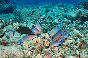 hunting coalition of blue goatfish or gold-saddle goatfish, Parupeneus cyclostomus, with a bluefin jack, omilu or bluefin trevally, Caranx melampygus, Kohanaiki, North Kona, Hawaii ( the Big Island ), USA ( Central Pacific Ocean ); the jack has adopted a dark color phase, which may indicate aggression or territoriality