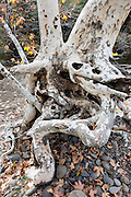 A California Sycamore (Platanus racemosa) trunk has grown twisted after being undercut by Big Chico Creek in Upper Bidwell Park, Chico, Butte County, California, USA.