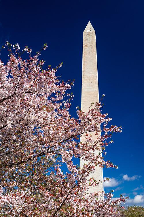 Cherry blossoms under the Washington Monument, Washington, DC USA