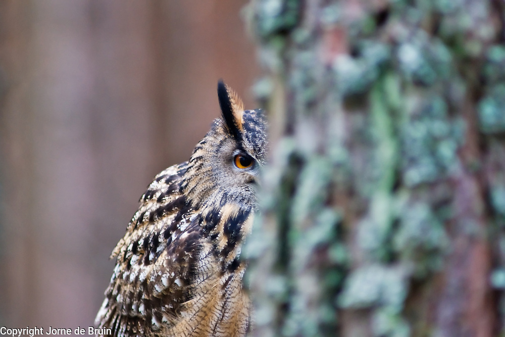 An Eurasian Eagle Owl sits behind a tree in a forest in the Cairngorms National Park in Scotland