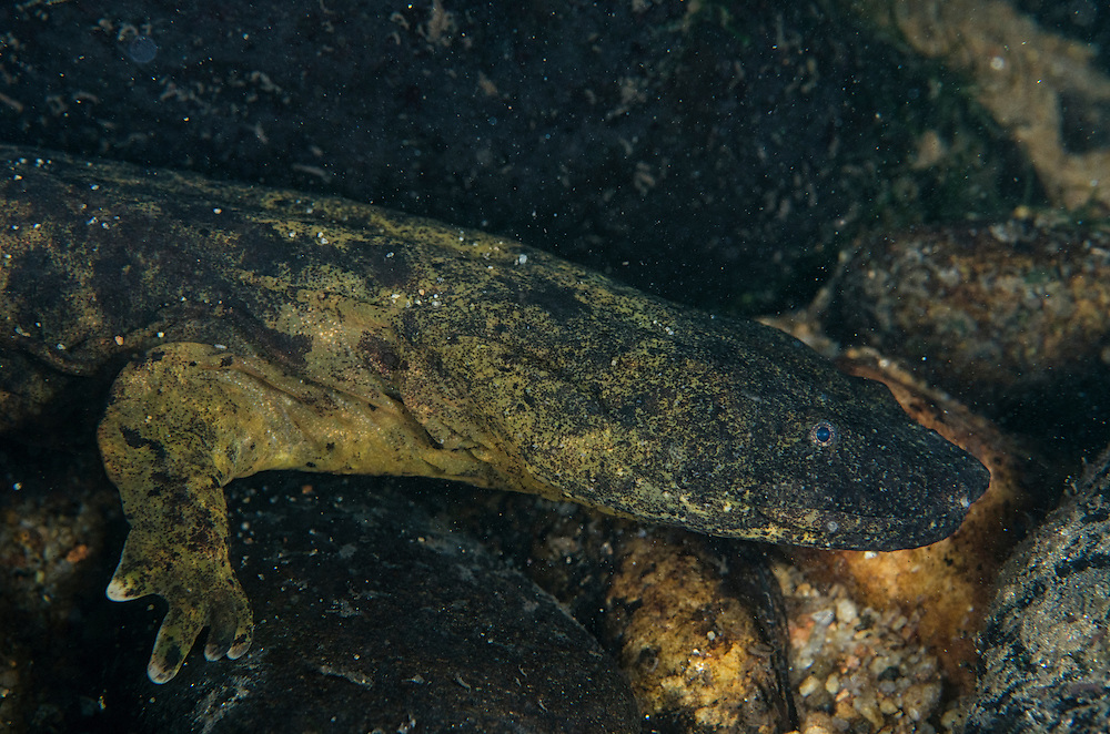 Eastern Hellbender (Cryptobranchus alleganiensis alleganiensis)<br /> Coopers Creek,  Chattahoochee National Forest<br /> Georgia<br /> USA<br /> HABITAT & RANGE: Clear, fast-flowing streams and rivers of Susquehanna River drainage in southern New York and Pennsylvania, and large portions Missouri, Ohio, and Mississippi River drainages from western Pennsylvania, southern Ohio, extreme southern Indiana, most of West Virginia, Kentucky, and Tennessee, northern Alabama and Georgia, western North Carolina and Virginia.