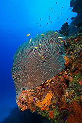 Great Star Coral, Montastrea cavernosa, Family: Faviidae, West End, Grand Bahamas, Caribbean, Atlantic Ocean